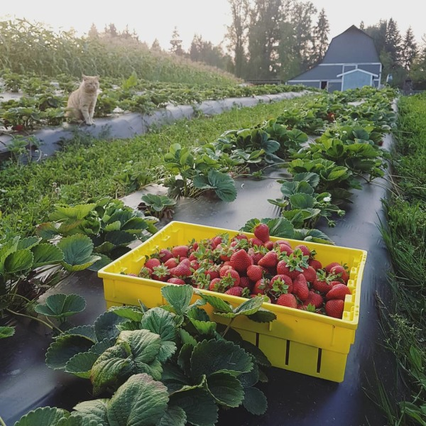 strawberry patch